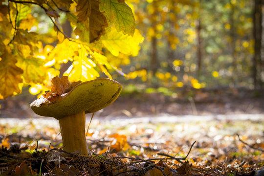 porcini mushroom in sunny oak forest