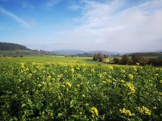 field of yellow rap in autumn  Fotoväggar