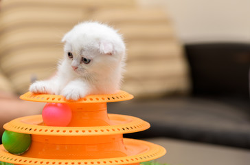 Cute white Scottish fold kitten playing with a toy
