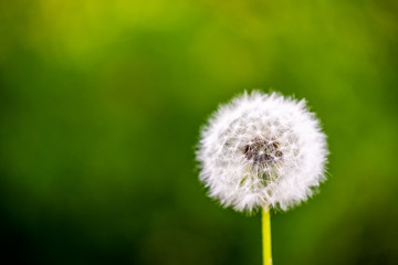 Foto op Canvas Paardenbloem dandelion cloesup photography with green background