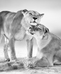 Fototapete - Two female lions having an affectionate moment. Black and white. Panthera leo. Kgalagadi