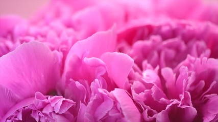 Fotoväggar - Beautiful pink peony bouquet background. Blooming peony or rose flowers rotating, close-up. Slow motion. 4K UHD video footage. 3840X2160