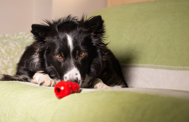A beautiful border collie puppy stares at his Kong on the couch Fotomurales