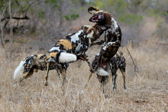 African Wild Dog fighting in the south of the Kruger National Park in South Africa
