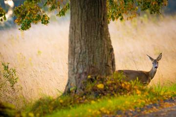 Reh hinter Baum bei Allee auf Insel Rügen