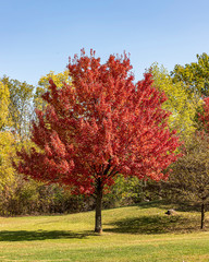 Fototapeta A red maple showing off it's October glory.  obraz