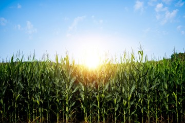 Beautiful shot of a cornfield with the sun shining in a blue sky