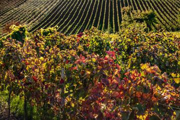 herbstliche Weinreben mit bunten Blättern