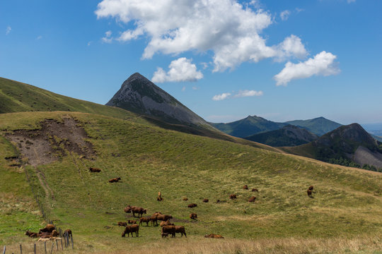 Herd of Salers cows in Cantal, Auvergne, France. Puy Griou. Landscape.