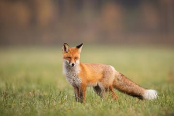Mammals - European Red Fox (Vulpes vulpes)