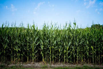Beautiful shot of cornfield with a blue sky in the background