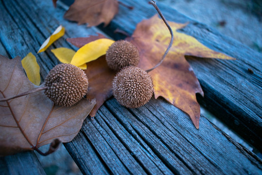 Balls seeds sycamore and leaves, old wooden background
