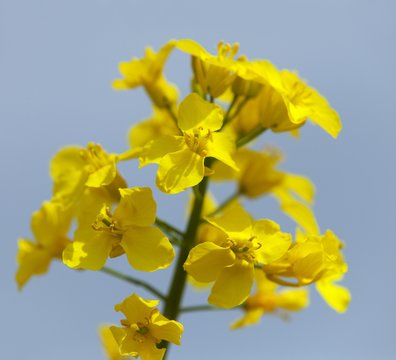 detail of flowering rapeseed canola or colza field