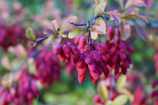 Berries of the berberis vulgaris plant also known as barberry