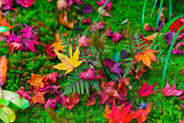 Maple leaves in autumn in Japan.