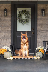 German Shepherd dog sitting on front porch decorated for Thanksgiving Day with homemade wreath hanging on door. Heirloom gourds,  white pumpkins, rain boots and mums giving an inviting atmosphere.
