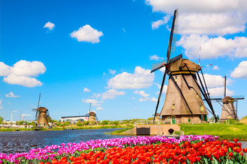 In de dag Tulp Colorful spring landscape in Netherlands, Europe. Famous windmills in Kinderdijk village with a tulips flowers flowerbed in Holland. Famous tourist attraction in Holland