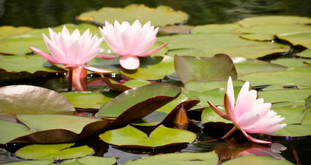 Foto op Plexiglas Waterlelies pink water lily in pond