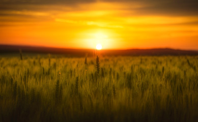 Foto op Canvas Meloen sunset over wheat field