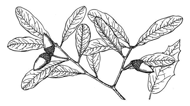 Branch of Southern Live Oak vintage illustration.