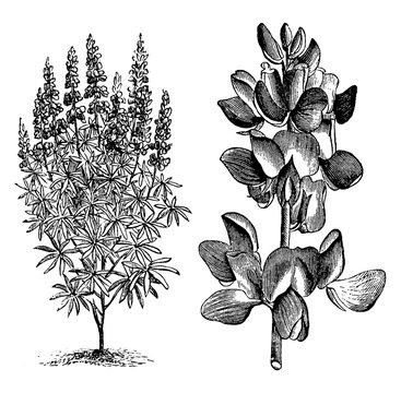 Lupinus (Mutabilis) Cruikshankii vintage illustration.