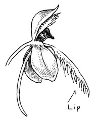Fringed Orchid vintage illustration.
