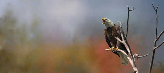 Papiers peints Aigle bald eagle in nature during fall