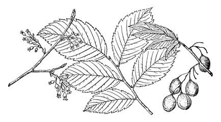 Branch of Rock Elm vintage illustration.