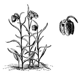 Habit and Detached Single Flower of Fritillariia Meleagris vintage illustration.