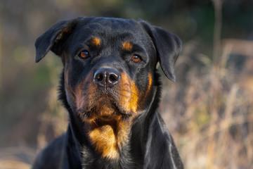 Rottweiler Close Up Face Autumn Fall