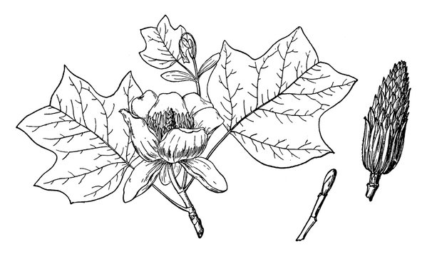 Branch of Yellow Poplar vintage illustration.