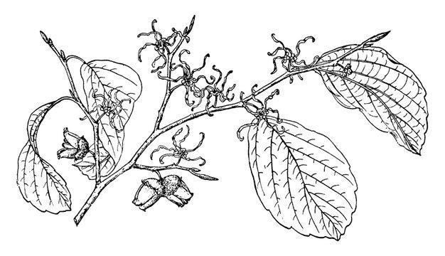 Branch of Witch Hazel vintage illustration.