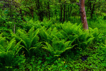 Green fern plants in the forest on spring