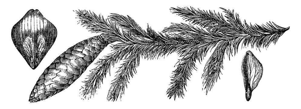 Picea Excelsa vintage illustration.