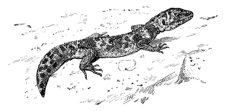 Leopard Gecko, vintage illustration.