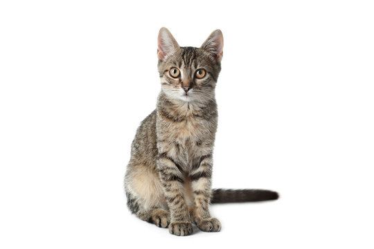 Grey tabby cat on white background. Adorable pet