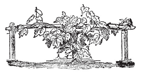 Grape Vine vintage illustration.