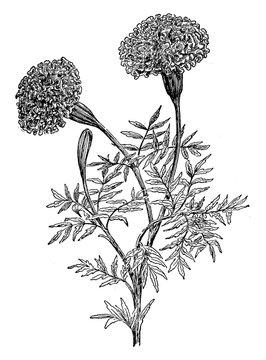 Marigolds vintage illustration.