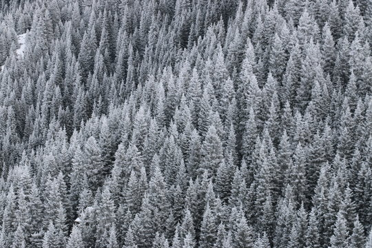 Winter Forrest of Snow-Covered Trees