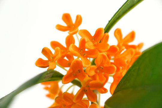 orange flowers of Sweet Osmanthus on a white background