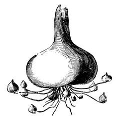 Mode of Increase of Gladiolus Corm vintage illustration.