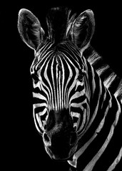 Poster Zebra Black and White Zebra Portrait on a black background
