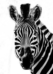 Foto auf Leinwand Zebra Black and White Zebra Portrait on a white background