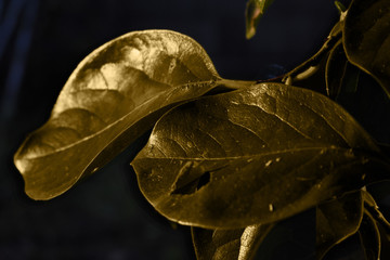 Hojas doradas del árbol de caqui con efecto metal y sobre fondo oscuro.