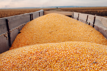 Picture of trailer full of ripe corn grains in parked on corn field in autumn. Husbandry concept.