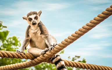 Ring tailed lemur sitting on thick rope.