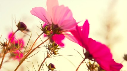 Fotoväggar - Cosmos Flower blooming in a garden over sunset sky. Beautiful red and pink colorful flowers growing on field. Spring and Summer scene. Slow motion 4K UHD video