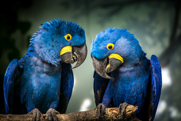 Tuinposter Papegaai blue and yellow macaw