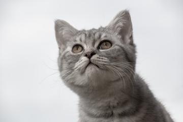 Ein Britisch Kurzhaar Katzenbaby 14 Wochen alt
