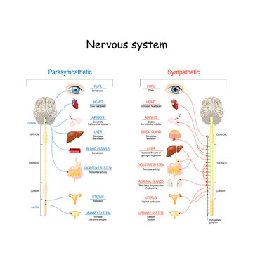 Sympathetic And Parasympathetic Nervous System. Difference.